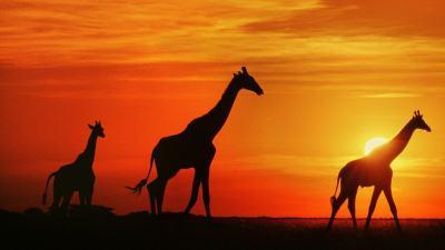 Giraffe HD Wallpapers | 7wallpapers.net