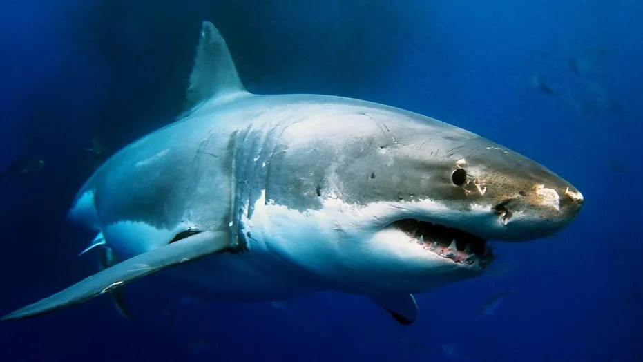 Great white shark attacks seal off Massachusetts coast as surfers     Beautiful  powerful and amazing looking creature beside a nightmare opinion  from the peoples haven