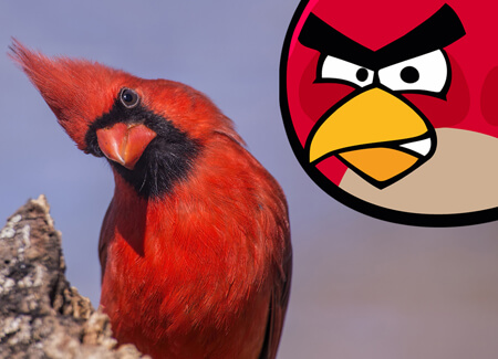 Northern Cardinal   Angry Bird    American Bird Conservancy Northern Cardinal  Bonnie Taylor Barry