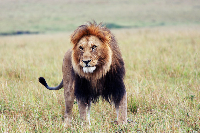 5 scary facts about lions this World Lion Day   Africa Geographic male lion