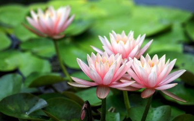 Lotus Flower Beautiful High Quality HD Wallpapers - All HD Wallpapers