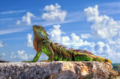 Iguana HD Wallpapers & images (High Definition - All HD Wallpapers