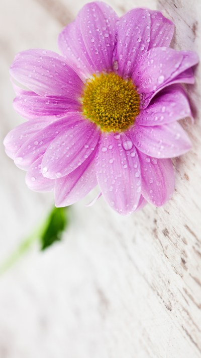 Flower Wallpapers for Mobile Phones with 1440x2560 and 5 inch Screen Size - HD Wallpapers ...