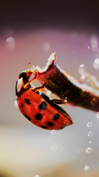 Lady Bug Macro Zoom Animal Android wallpaper - Android HD wallpapers