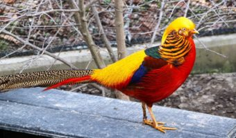 Golden Pheasant   Facts  Information and Habitat Golden Pheasant
