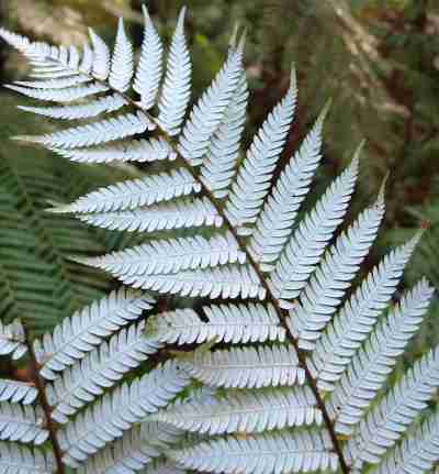 Silver Fern   Armadillo Projections