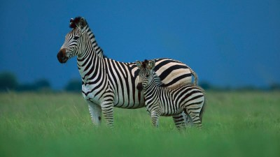 Zebra Wallpapers|Zebra Images|Zebra Photos|Zebra Pictures | Beautiful Cool Wallpapers