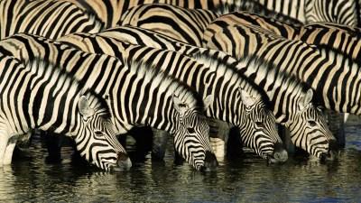 Zebra Wallpapers|Zebra Images|Zebra Photos|Zebra Pictures | Beautiful Cool Wallpapers