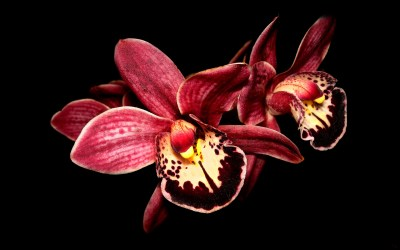 21 Gorgeous HD Orchid Flowers Wallpapers - HDWallSource.com