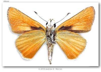 Anatrytone mazai (pinned specimens)