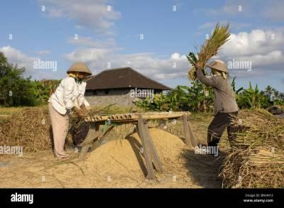 Bali Asia Indonesia travel Rural Life working rice field ...