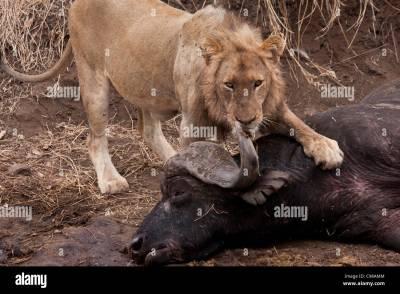 Lion Kill Buffalo Stock Photos & Lion Kill Buffalo Stock Images - Alamy