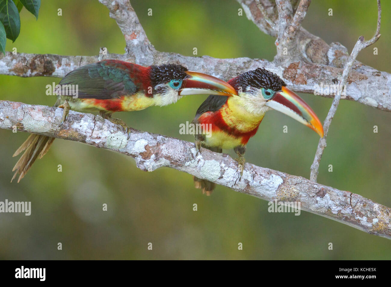 Curl crested Aracari  Pteroglossus beauharnaesii  perched on a     Curl crested Aracari  Pteroglossus beauharnaesii  perched on a branch in  the Amazon of Brazil
