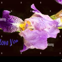 Iris Flower With I Love You Words on Black Background Stock Photo