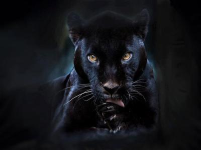 Black Panther Live Wallpaper 2.5 APK Download - Android Personalization Apps