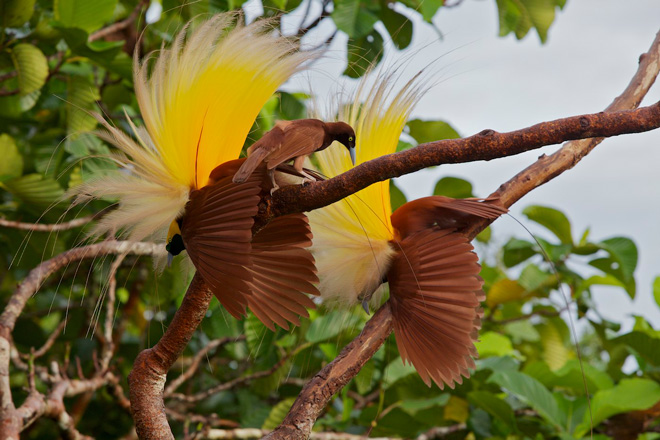 Extravagance explained  Why birds of paradise are the way they are     A female Greater Bird of Paradise at Wokam  Aru Islands  scrutinizes one