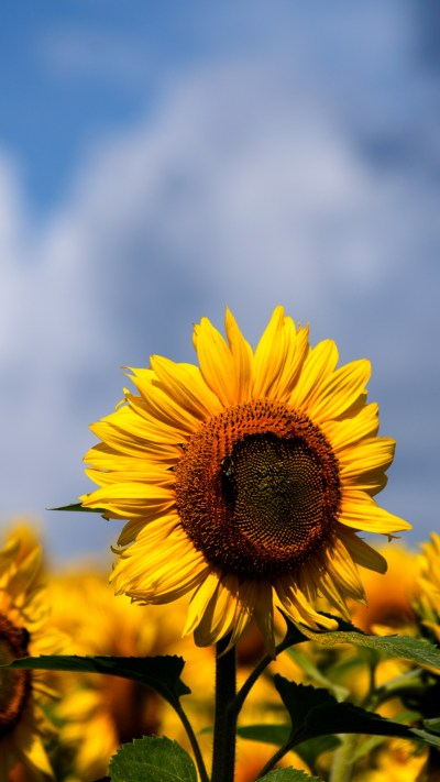 Sunflowers iPhone Wallpaper - iDrop News