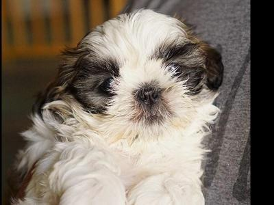 Shih Tzu Puppies For Sale Near Montague, New Jersey - AKC Marketplace