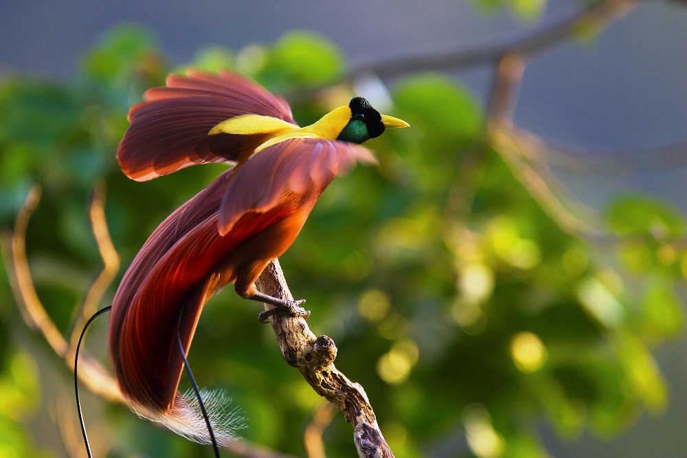 Greater Bird of paradise  Charismatic Planet Greater Bird of paradise