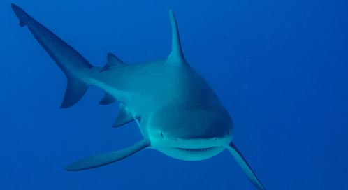 Sharks   Basic Facts About Sharks   Defenders of Wildlife