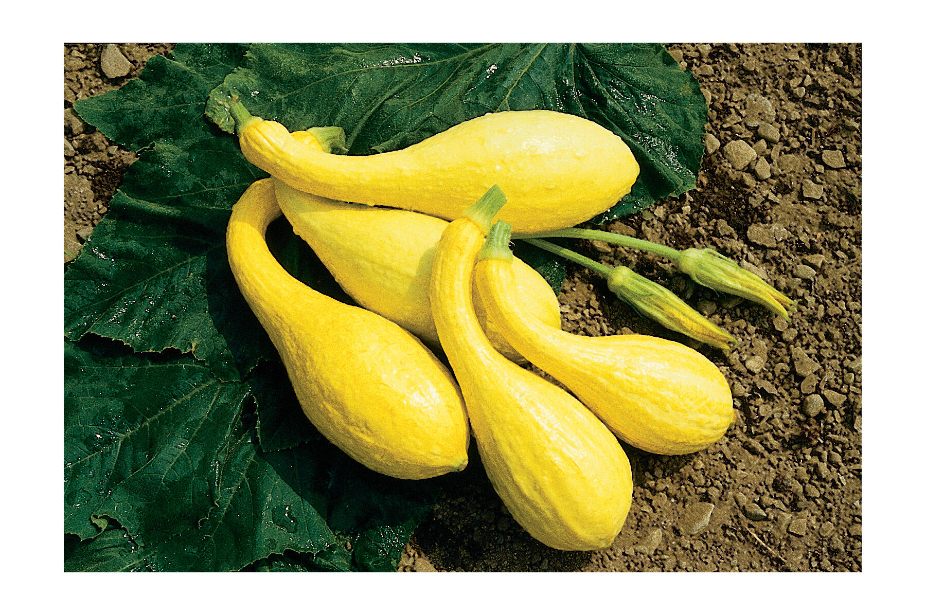 Yellow Crookneck - Organic Squash Seed | Johnny's Selected Seeds