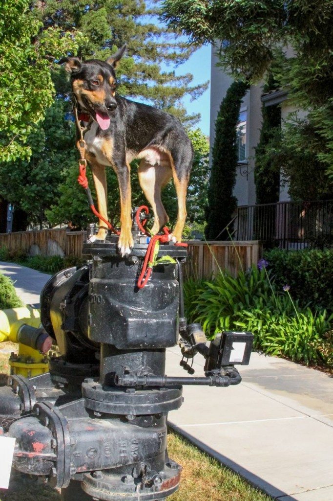 A dog balancing on an urban structure - dog tricks for the circus dog type