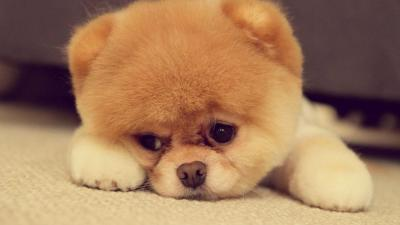 cute puppy wallpaper HD