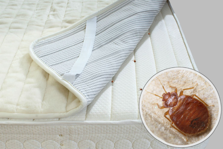 What Are Bed Bugs, and Why Do You Need to Remove Them from Your Home?