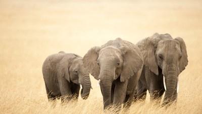 Elephant wallpaper | 1920x1080 | #40576