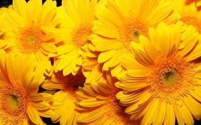 Yellow Flower wallpaper   1920x1200   #42600