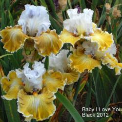 Tall Bearded Iris Iris Baby I Love You in the Irises Database
