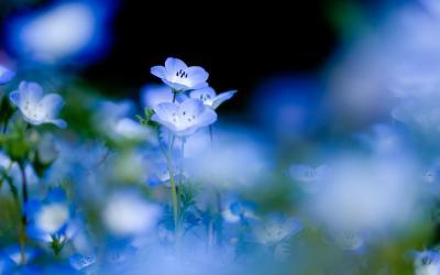 Blue Flower 4K Ultra HD Live Wallpaper