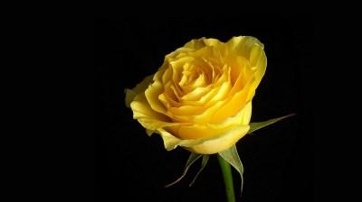 3D Yellow Rose Wallpapers | Best Yellow Rose HD LiveWallpaper