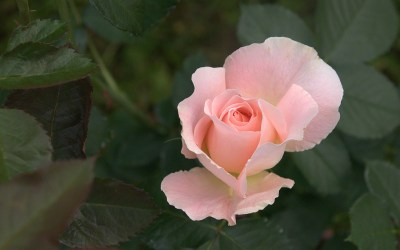 Pink Rose Wallpapers (62+ images)