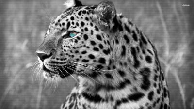 Snow Leopard Wallpaper (72+ images)