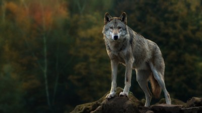 Lone Wolf Wallpaper (57+ images)