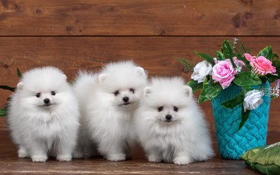 Cute Puppies Wallpaper HD (55+ images)