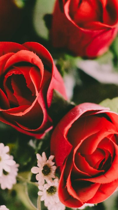 Red Roses Wallpaper - iPhone, Android & Desktop Backgrounds