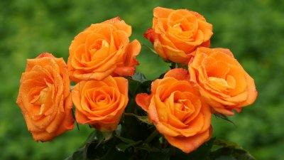 Orange Rose | haidemorala