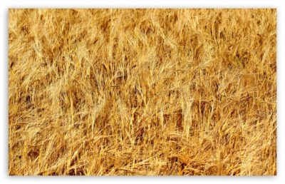 Golden Wheat Field 4K HD Desktop Wallpaper for 4K Ultra HD TV • Wide & Ultra Widescreen Displays ...
