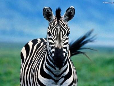 zebra - HD Desktop Wallpapers | 4k HD