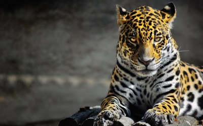 jaguar wallpaper animal - HD Desktop Wallpapers | 4k HD