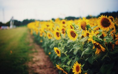sunflower pictures - HD Desktop Wallpapers | 4k HD