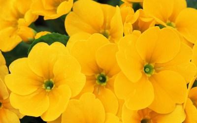 yellow flower picture hd - HD Desktop Wallpapers   4k HD