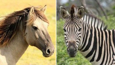 What Is The Difference Between A Zebra And A Horse - HorseTv Live