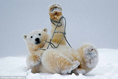 Baby polar bear gets caught up in a piece of rope | Daily Mail Online