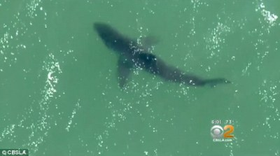 Great white shark sightings increase off California coast   Daily Mail Online