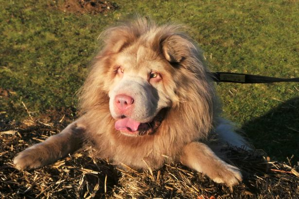 Is it a dog or a lion  Murphy steals hearts with his incredible mane     Is it a dog or a lion   Image  Dogs Trust SWNS COM