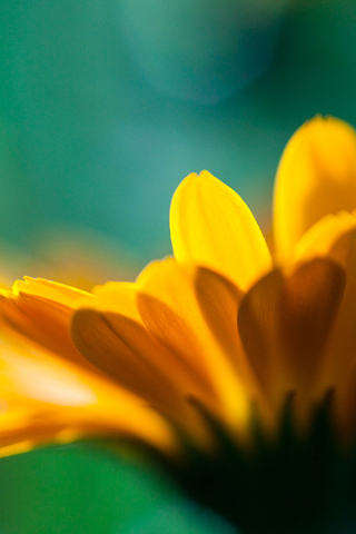 Yellow Flower Closeup iPhone Wallpaper | iDesign iPhone