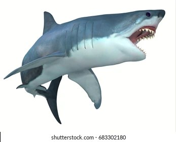 Shark Images  Stock Photos   Vectors   Shutterstock Dangerous Great White Shark 3d illustration   The Great White shark can  live for 70 years